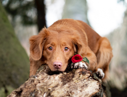 Valentine's Day Pet Safety